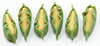 Dollhouse Miniature Corn, 6Pc